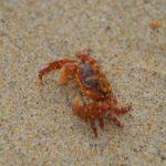 crab on beach - image